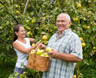 Man and woman in apple garden. Stock Image