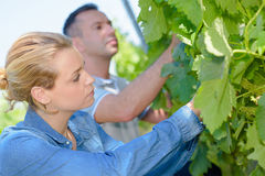 Man and woman assessing grapes on vine. Man and women assessing grapes on the vine Royalty Free Stock Photo