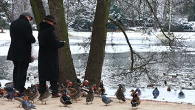 Man and the woman feed ducks in park in winter stock footage