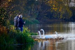 Man and Woman feeding Mute Swans Cygnus olor. And filming with smartphone stock images