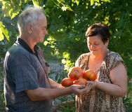 Man and woman harvest tomatoes Royalty Free Stock Photography