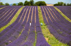 A man and a woman isolated in a levender field at Valensole, Provence, France royalty free stock images