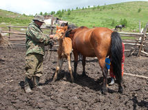 A man and a woman milking a horse. That Kazakhs would make kumis Royalty Free Stock Photo