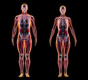 Man and woman muscle and skeletal systems. X-ray stock illustration