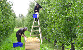 Man and woman picking apples in the orchard in Resen, Macedonia Stock Images
