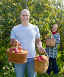Man and woman picks apples Royalty Free Stock Photography