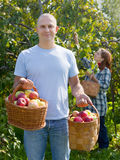 Man and woman picks apples Stock Photo