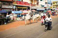 Man and woman riding motorbikes with cows down main street. Man and woman riding motorbikes down main street next to cows strolling past shops Stock Photo