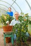 Man and woman in tomato plant Stock Photography