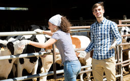Man and woman touching cows Stock Image