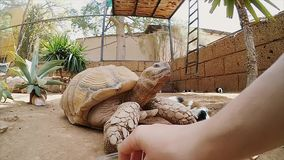 Man and woman try to feed a big turtle. Tortilla in a zoo, close-up view. stock video footage