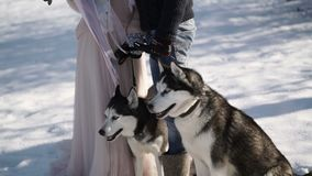 Man and woman with two husky dogs. At winter sunny day stock footage