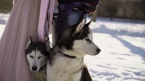 Man and woman with two husky dogs stock footage