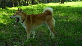Shiba dog runs in the woods. A man and a woman are walking in the woods with a dog stock video footage
