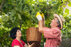 Man and woman working  in the vineyard Royalty Free Stock Photography