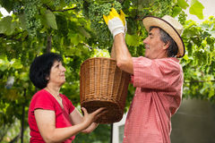 Man and woman working  in the vineyard Stock Photo