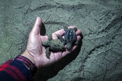 Little baby turtles in the hand of the night. Man with wooden bowl in hands take newborn turtles on handbrede, close up hands with turtles turtle sanctuary Royalty Free Stock Photos