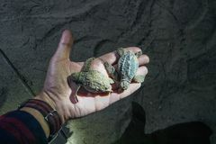 little baby turtles in the hand of the night stock photo