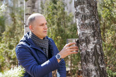 Man in woods collecting birch sap Royalty Free Stock Image