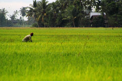 Man at Work. A man preparing to spray insecticide on the paddy crops Stock Images