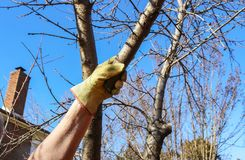 Man with work glove on reaches up to grasp small tree branch to cut. Another branch has been recently pruned. A Man with work glove on reaches up to grasp small Royalty Free Stock Photography