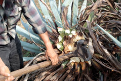 A man work in tequila industry Royalty Free Stock Image