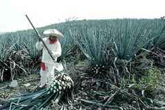 A man work in tequila. Industry royalty free stock photos