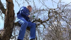 Man worker cut prune old apple tree branch in spring garden. 4K. Young man worker cut prune old apple tree branch sit on tree branch in spring garden. 4K stock video footage