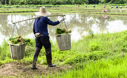 Man worker at farm work carrying green rice grass Royalty Free Stock Photography