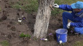 Man worker paint tree trunk with brush spring time orchard. 4K. Young man worker paint tree trunk with brush in early spring time orchard. 4K stock video footage