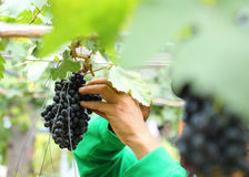 Man worker picking grape Stock Photography