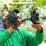 Man worker picking grape Royalty Free Stock Photo