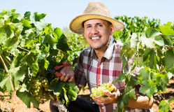 Man working on collecting ripe grapes Stock Photos