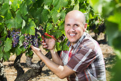 Man working on collecting ripe grapes Stock Photography