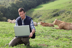 Man working in field with cattle Royalty Free Stock Image