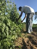 Montecatini,Tuscany, Italy. 30th June, 2018. Man is working on the field. growing beans stock image
