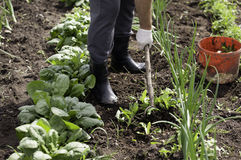 Man working garden with a hoe Stock Photography