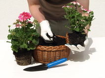 Man working in the garden. Man planting some flowers in the garden Royalty Free Stock Images
