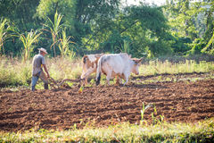 Man working in his field with an ox plough in Vinales Cuba Royalty Free Stock Photos