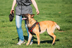 Man Working With A Malinois Dog In A Defense Training In Sunny Summer. Young Man Working With A Malinois Dog In A Defense Training In Sunny Summer Day In Park Stock Photography