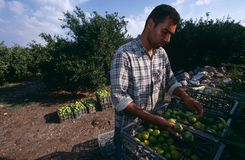 A man working in an orange grove, Palestine Royalty Free Stock Photos