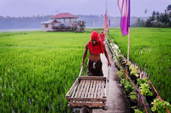 The Man working on rice field at Bohol island. Royalty Free Stock Photos