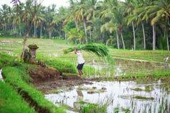 Man working on rice field near Ubud Stock Image