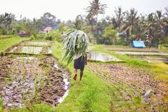 Man working on rice field near Ubud, Bali Stock Image