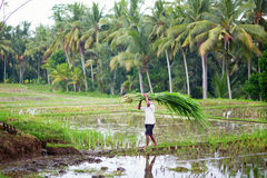Man working on rice paddies near Ubud, Bali Royalty Free Stock Images