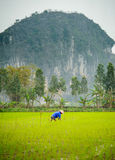A man working in a rice paddy in ninh bing,vietnam 2 Royalty Free Stock Photo