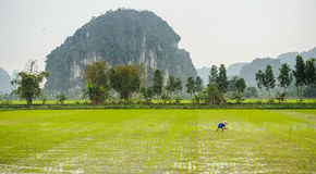 A man working in a rice paddy in ninh binh,vietnam Stock Images