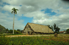 Man working on tobacco fields. In cuba royalty free stock photo