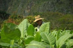 Man working on tobacco fields in cuba. Worker harvesting tobacco leafs in Cuba biggest plantation fields in Vinales, December 2013, Vinales, Cuba Stock Image