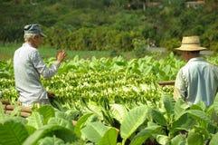 Man working on tobacco fields in cuba. Worker harvesting tobacco leafs in Cuba biggest plantation fields in Vinales, December 2013, Vinales, Cuba royalty free stock photos